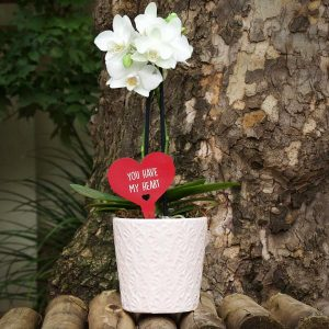 White Pot Valentines's Mini Orchid