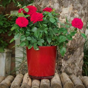 Glass Cover Pot Containing Red Rose Bush