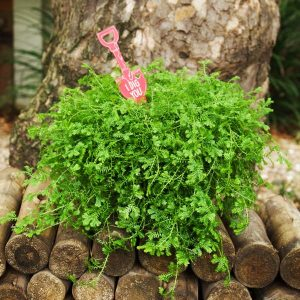 Valentine's stick selaginella